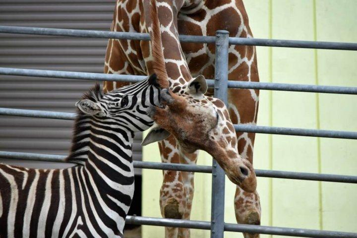 釧路市動物園 キリンとシマウマ