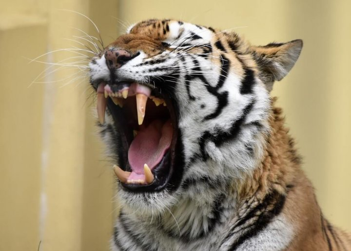 釧路市動物園 トラ
