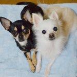 Chihuahua's Mam