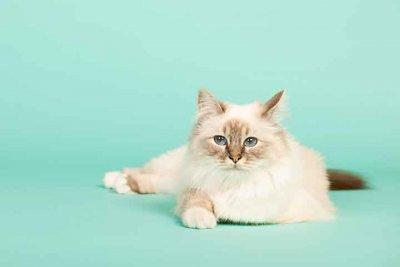 バーマン 猫種図鑑
