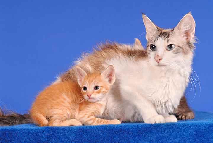ラパーマ 猫種図鑑