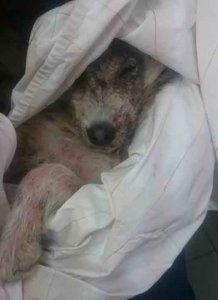 海外記事ブルガリア 怪我と皮膚病に侵された犬アルフェイヤ
