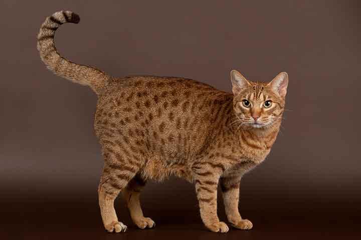 猫種図鑑 オシキャット
