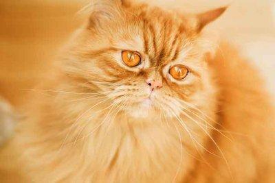 犬猫種図鑑 セルカークレックス