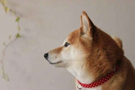 日本犬の愛で方 梅ちゃん