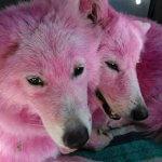 金儲けのために全身ピンクに染められ遺棄された犬が保護される