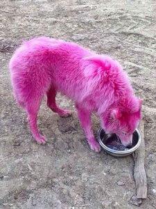 金儲けのために全身ピンクに染められ遺棄された犬が保護