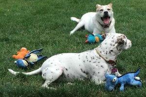ジョジョ おもちゃ100個を持つ保護犬