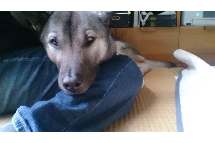 日本犬サスケくん