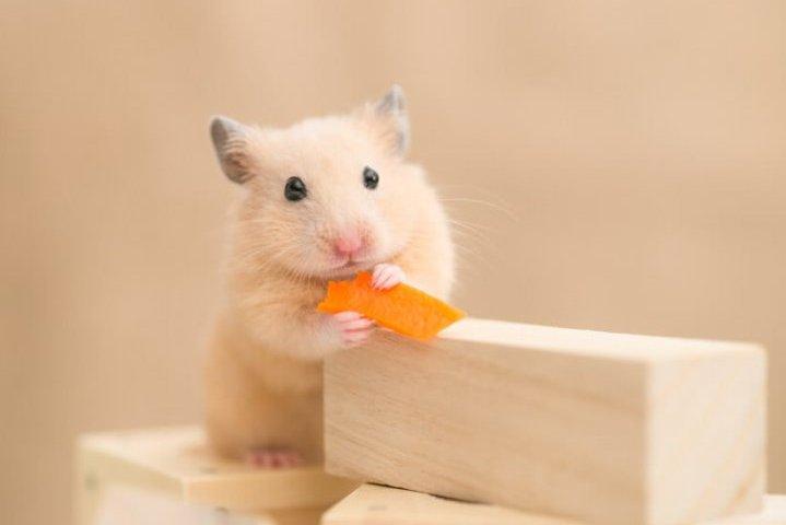 ニンジンを食べるハムスター