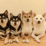 日本犬の愛で方 第6回 Kikkoちゃん、Sashaちゃん、Momoちゃん、Hinaちゃん(柴犬)