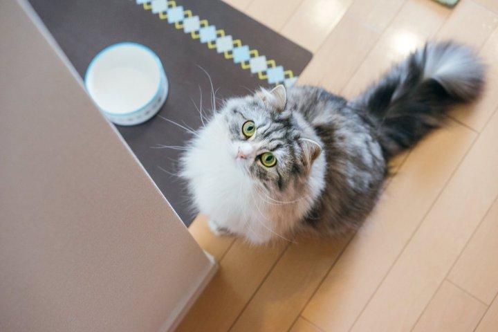 ご飯が待ち遠しい猫