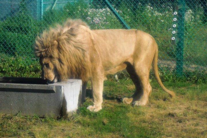 岩手サファリパーク ライオン