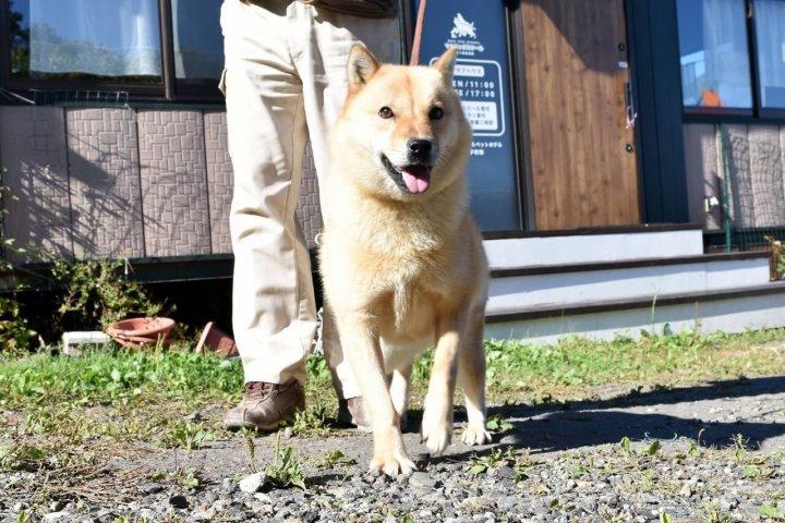 北海道犬(アイヌ犬)