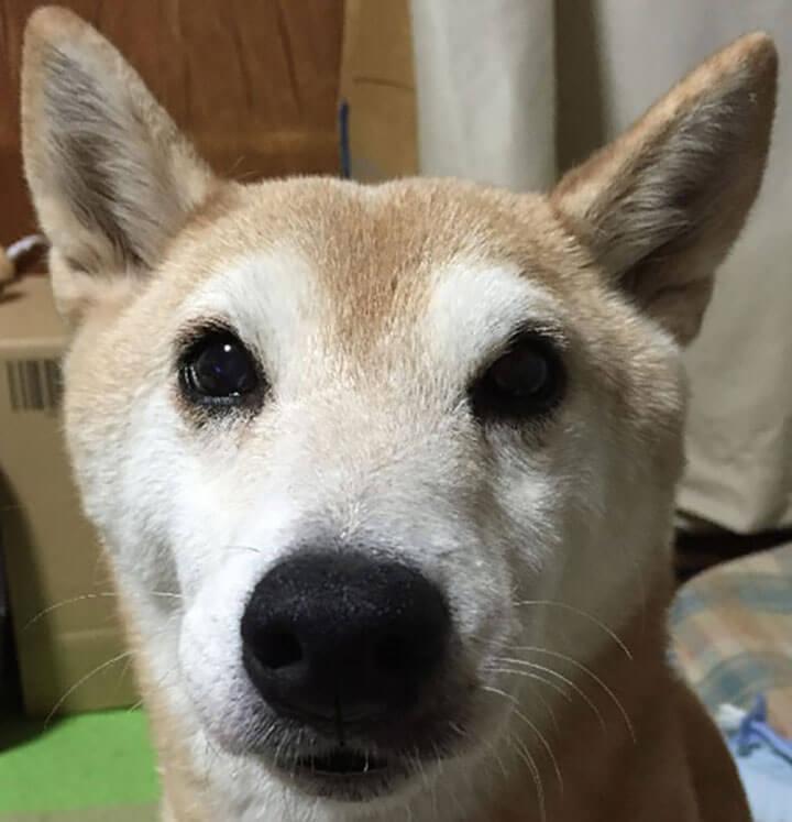 柴犬のひろちゃん13歳