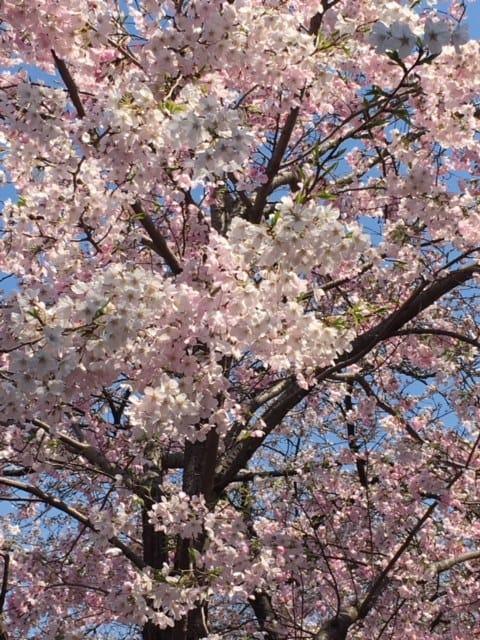 「サクラ咲く」03/18(日) 09:50 | なつの写メ・風俗動画