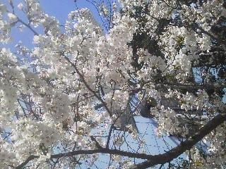 「満開♪」03/24(土) 11:36 | まきの写メ・風俗動画