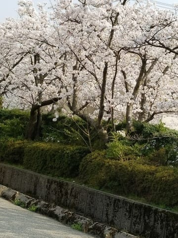 「今日は桜を」04/02(月) 16:02 | 高島はるの写メ・風俗動画