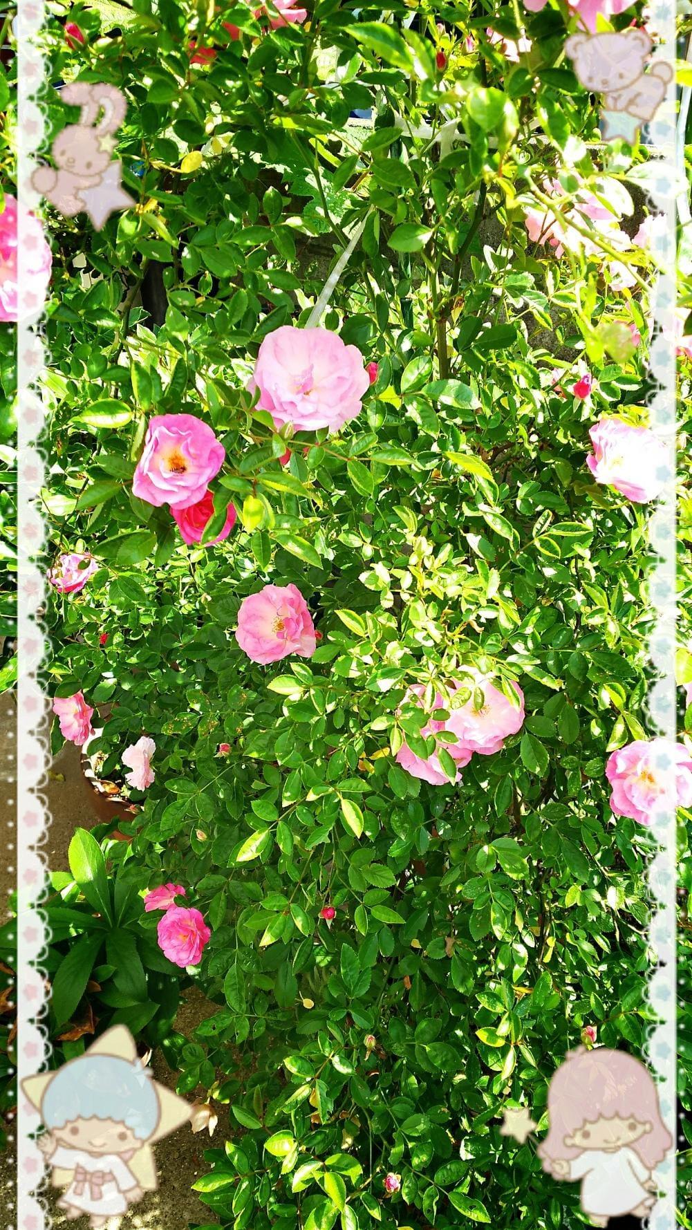 「薔薇の花♪」05/21(月) 19:58   あいみの写メ・風俗動画