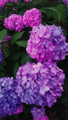 中谷「紫陽花」05/26(土) 11:17 | 中谷の写メ・風俗動画