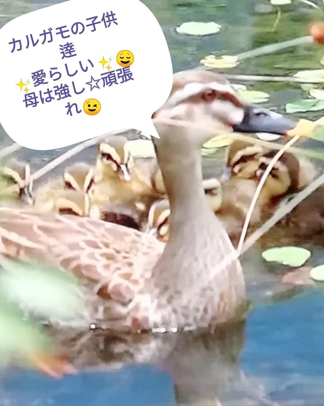 「最近カルガモの親子を」06/21(木) 10:02 | 麗 『うらら』の写メ・風俗動画