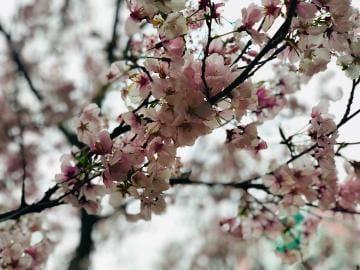 「今年初の桜...*○。」03/24(日) 07:34   土屋まいの写メ・風俗動画