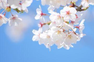 「桜も開花♪」03/24(日) 18:06 | 星野の写メ・風俗動画