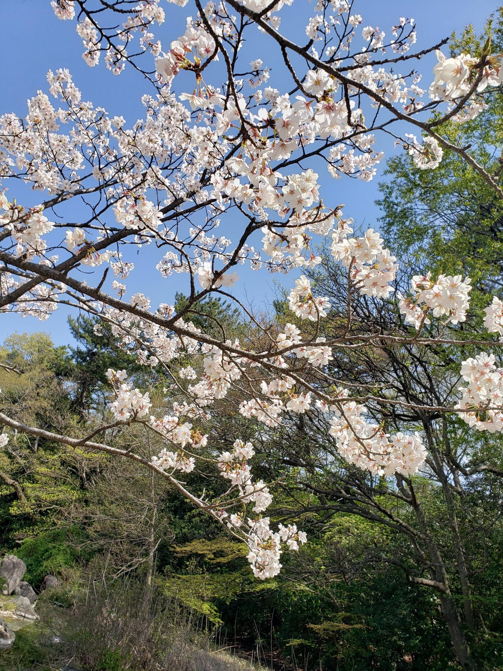 あきな「桜~」03/26(木) 16:01   あきなの写メ・風俗動画