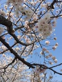 しゅな「桜」04/04(土) 13:00 | しゅなの写メ・風俗動画