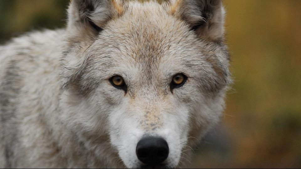 野生のオオカミを探せ!~北米の大自然に生きる|dTV公式‐12万作品が見放題