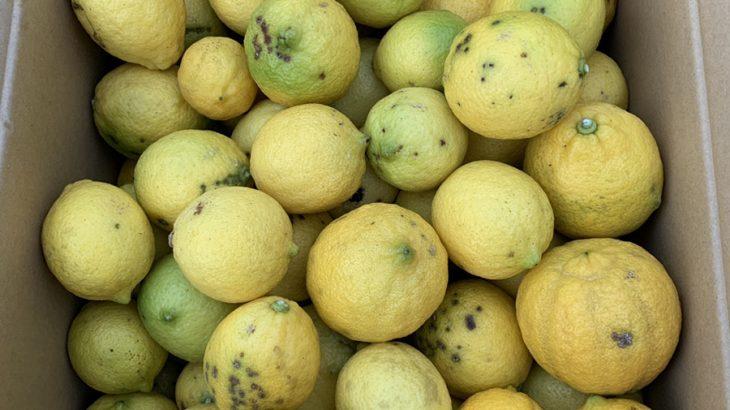 【送料負担】国産レモン10kgを1名様にプレゼント!