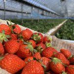 【食品ロス削減】廃棄されるイチゴをレスキューしに収穫のお手伝いをしています