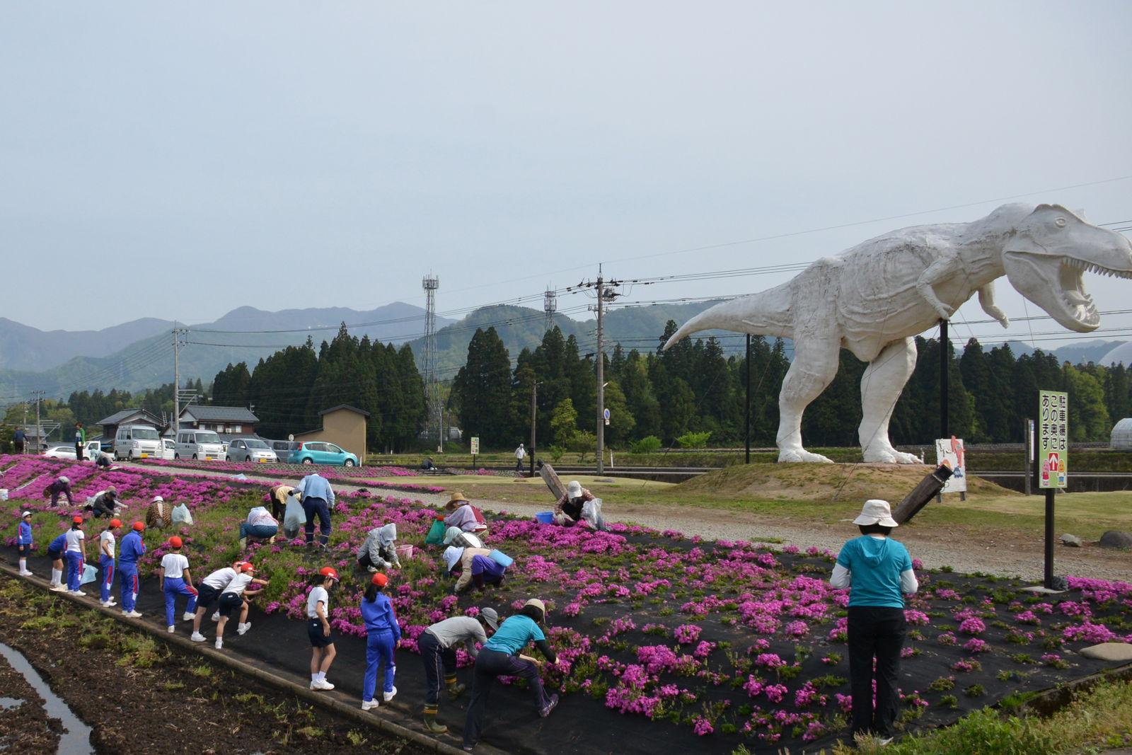 ホワイトザウルスの横に芝桜を植える地元の住民たち。子どもたちにとってはホワイトザウルスが「故郷の風景」です(写真提供: 勝山市)