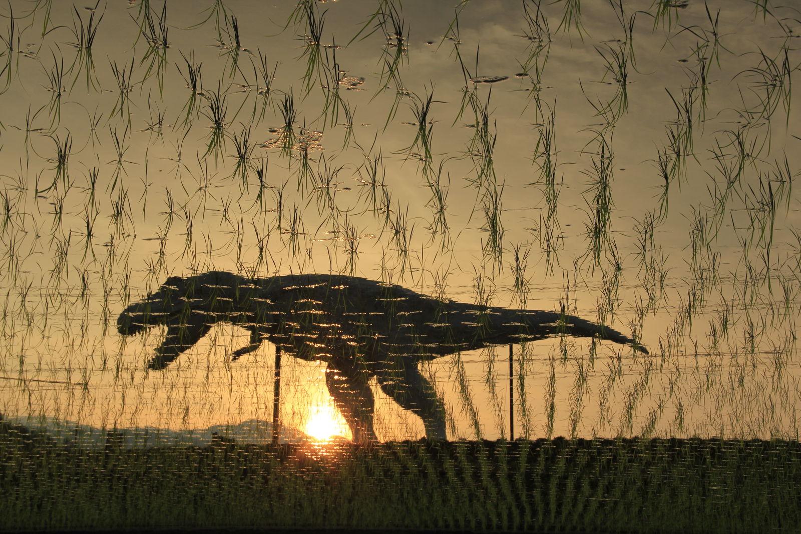 田んぼに映えるホワイトザウルスの影。地元住民ですらはっとするような美しい風景を織りなしてくれます(写真提供: 勝山市)