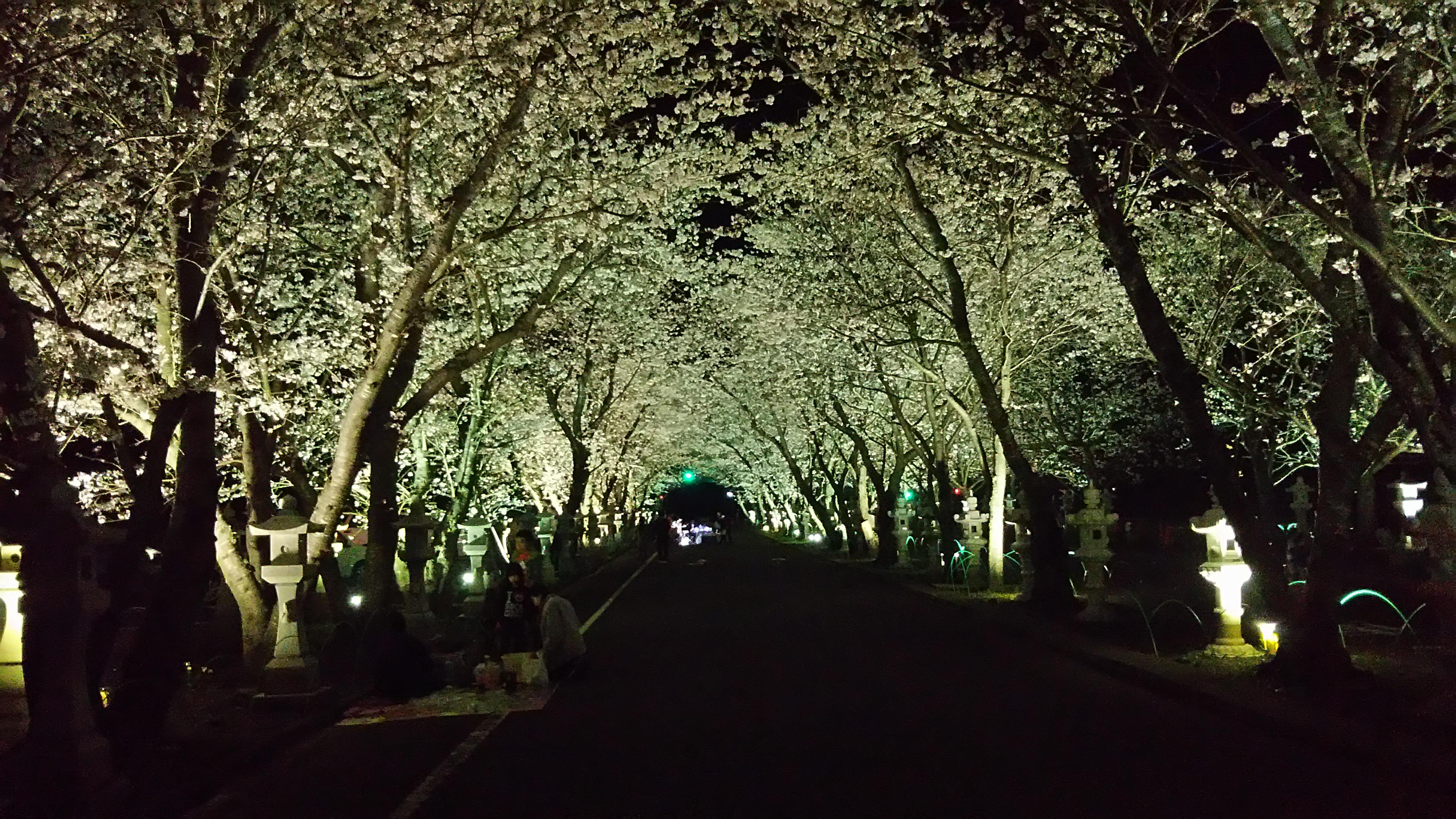 ライトアップされる桜並木。毎年多くの方が桜の季節を楽しみにしています(提供:南九州市)