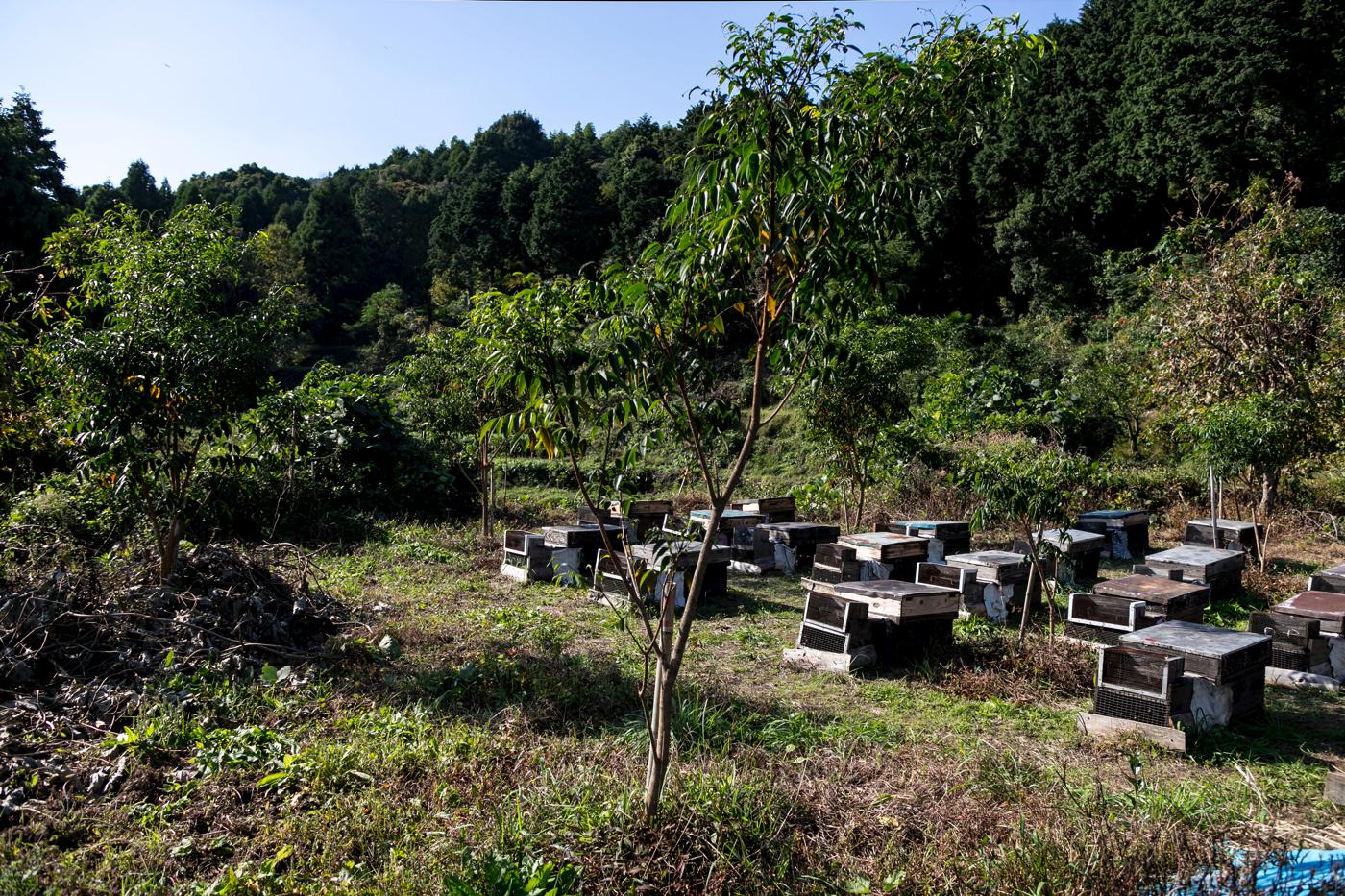 日本蜜蜂の巣箱の周りに植えられているはぜの木