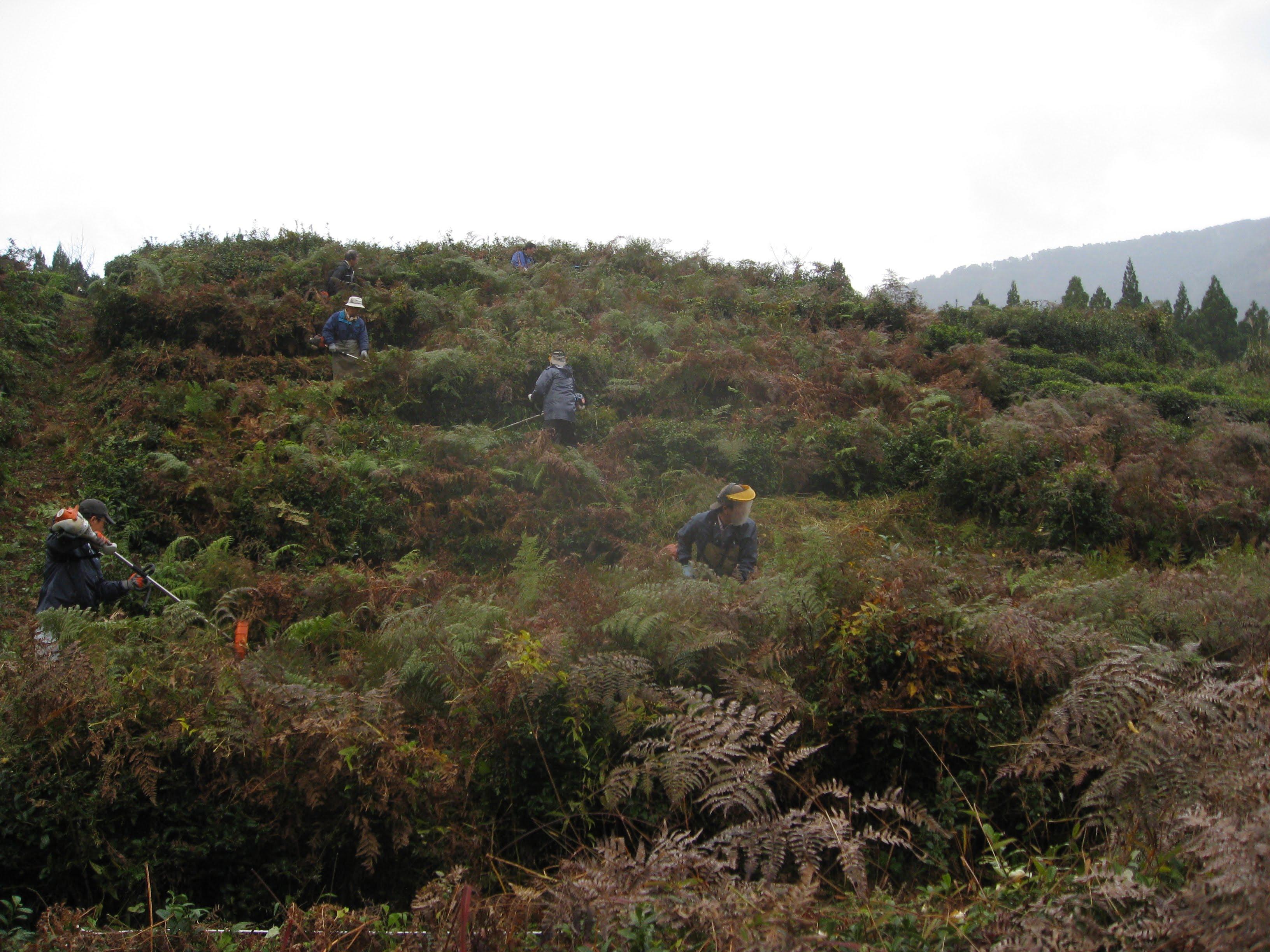 荒廃した茶畑の再生への取り組みを始めた