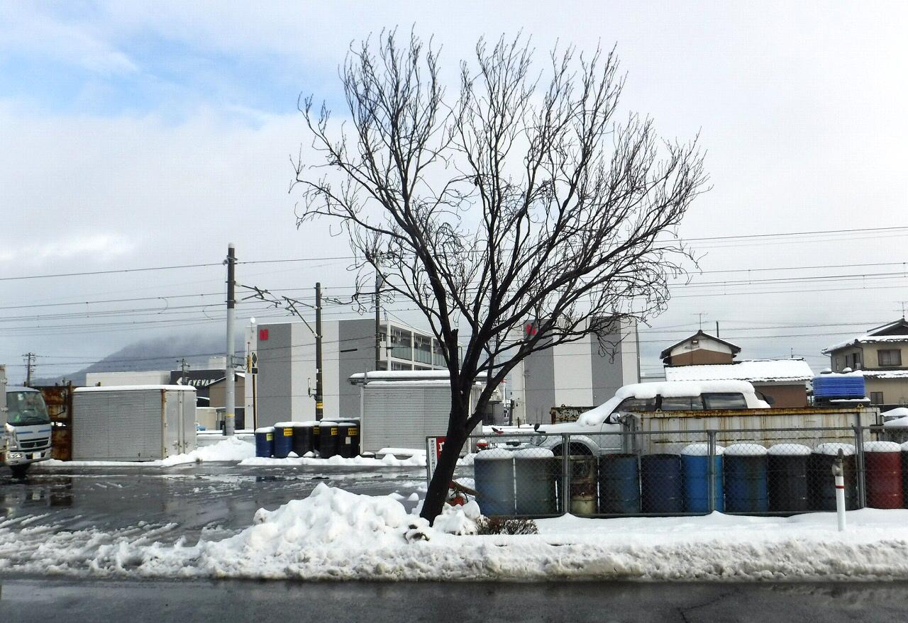 ↑積雪により大きく傾いた街路樹