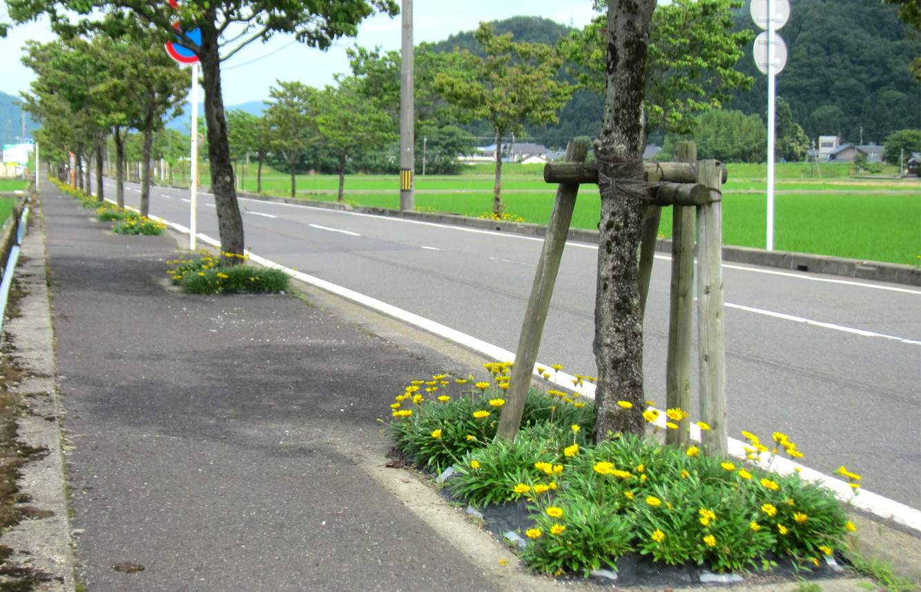 ↑街路桝に植栽されたガザニア
