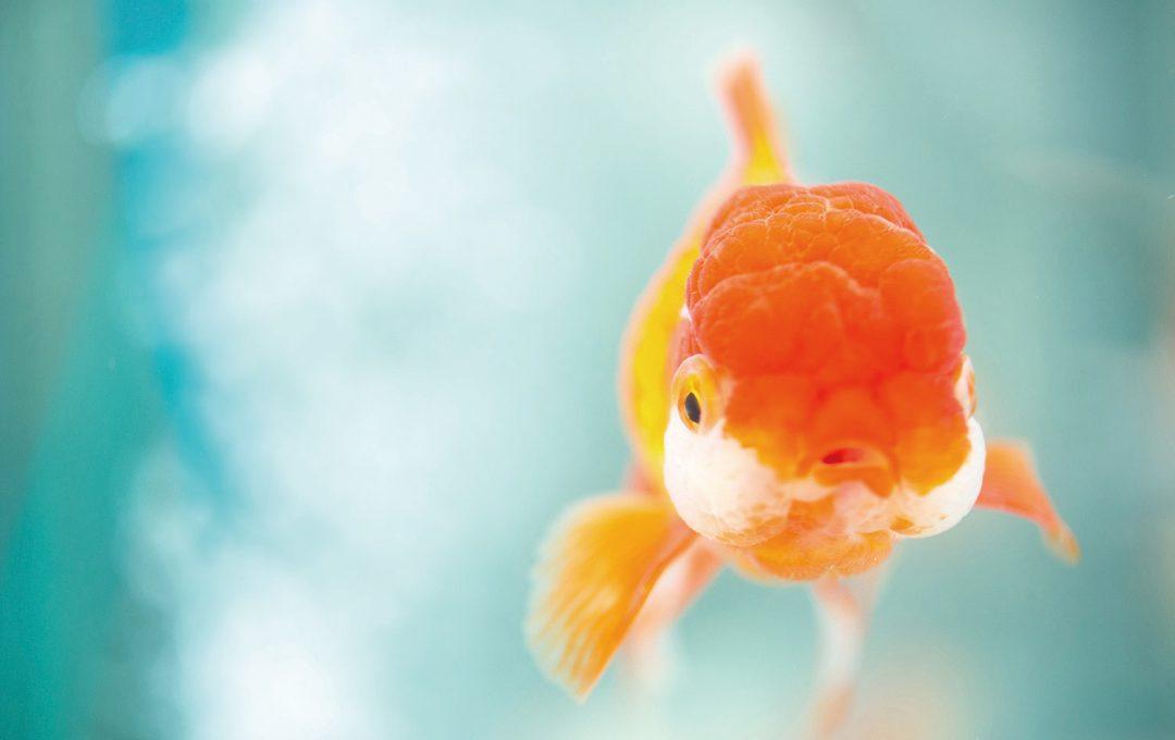 「金魚」の魅力を伝えるときは、やりすぎくらいがちょうどいい