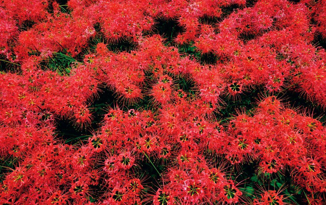 プロの現像テクニック 彼岸花の赤を「鮮烈」に、精密に作り込む