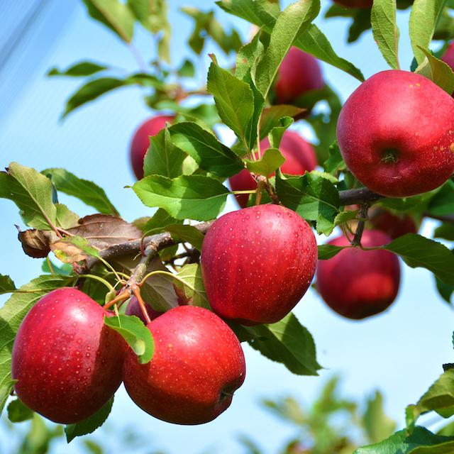 りんご①.jpg
