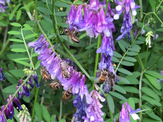 蜜源の花に集まってきたミツバチたち