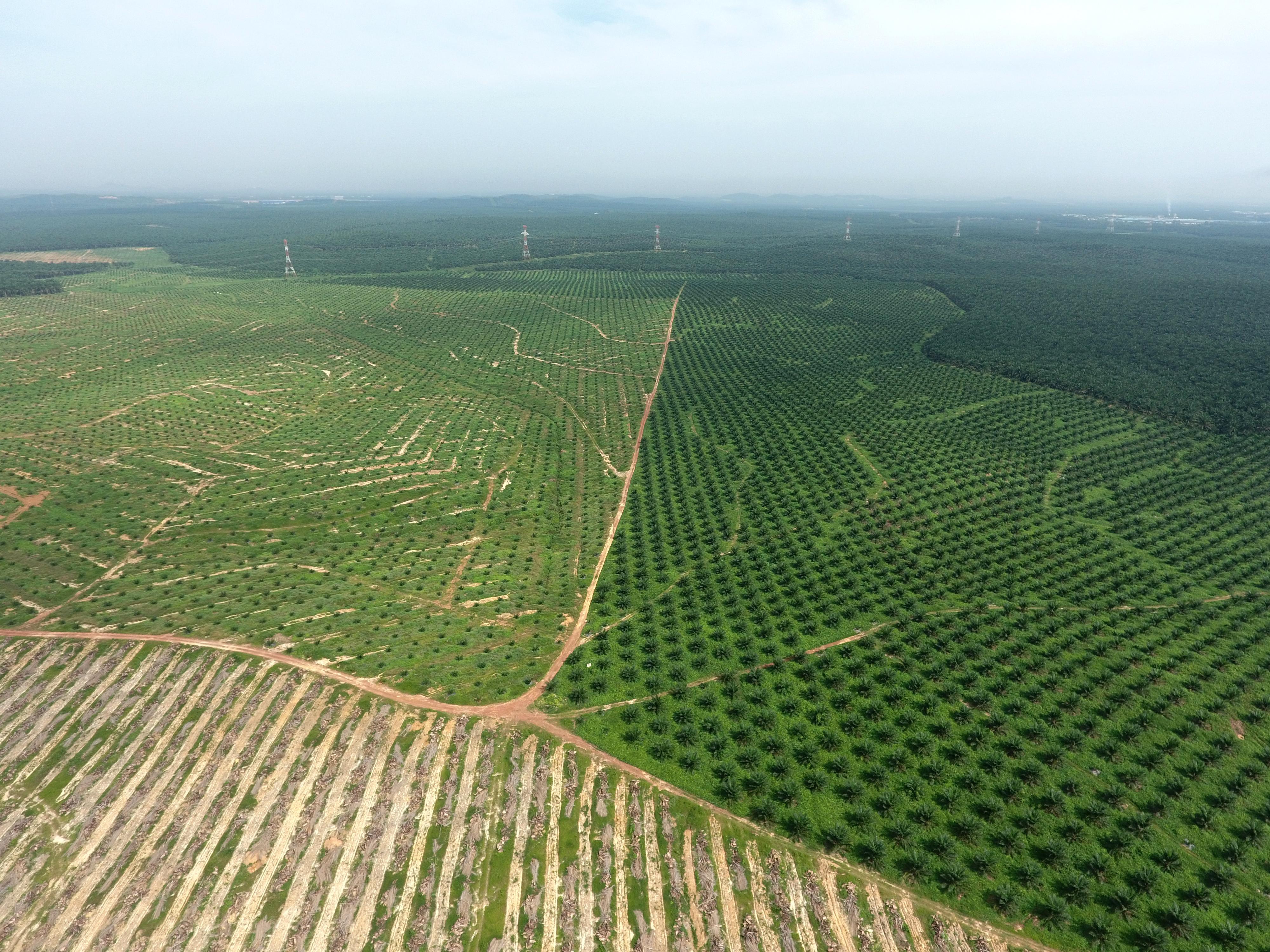 パームオイル用に植えられたアブラヤシのプランテーション