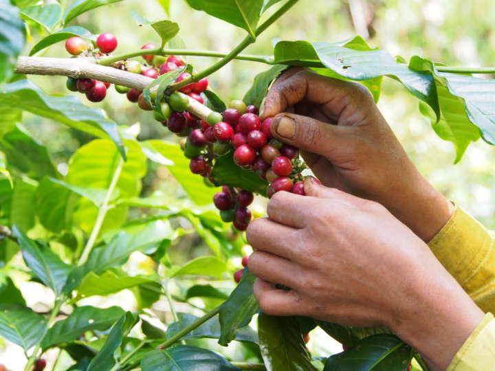 赤く熟したコーヒーチェリーだけを一粒ずつ手摘みで収穫