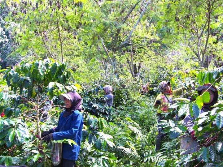 歌を歌いながら収穫をする地元の女性たち