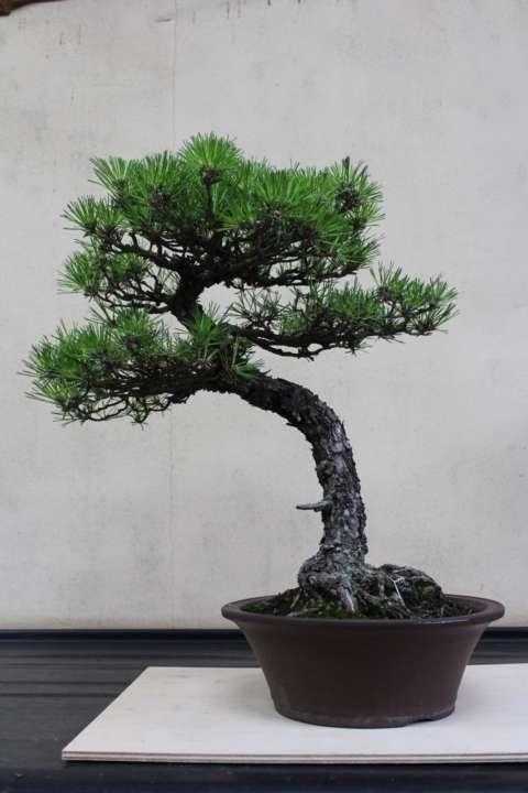 「黒松」盆栽として作られる黒松としてはユニークな樹姿であるが、 より自然に自生している黒松の樹姿に近い。 針金で整姿はしない方が本品は良い