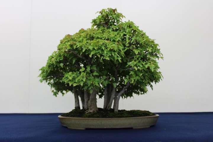 「唐楓(寄せ植え) 」中品の寄植盆栽。 寄せた当初から幹は太く年数の経過した素材で作出されたもの。 寒樹の味わいは見応えがある。 それぞれの幹もカエデ独特の時代感が見られる