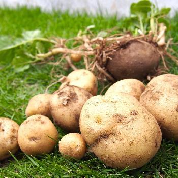 ジャガイモの画像