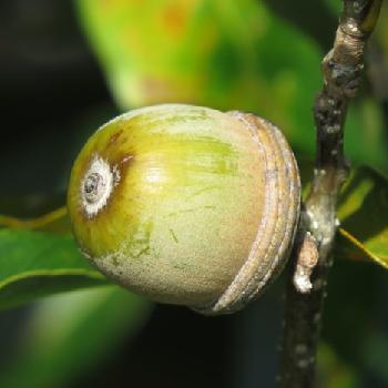 オキナワウラジロガシの画像